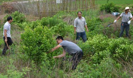 今年5月,广西省灌阳县文市镇政府官员组织退果还粮(砍伐果树种植粮食)活动