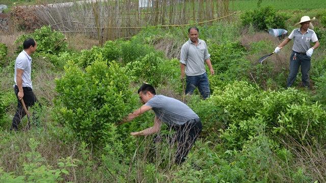 不认粮食危机却下令五年内只种粮    中共强砍树逼农民种粮食