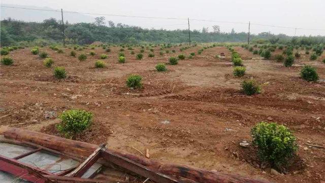 墓地及四间休息室的废墟上被种上了植被(知情人提供)
